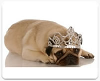 pug node dog wearing a jewel crown after a pet grooming